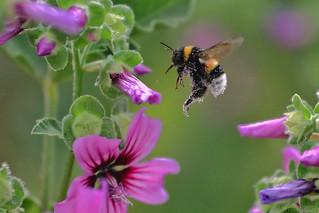 Bumblebee, Malva Sylvestris