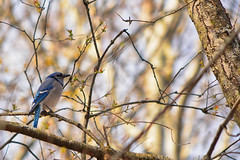 Blue Jay on a Sunny Day (flashfix) Tags: may062018 2018inphotos ottawa ontario canada nikond7100 55mm300mm nikon flashfix flashfixphotography portrait birdphotography bluejay bird branches tree bokeh mothernature wildlife