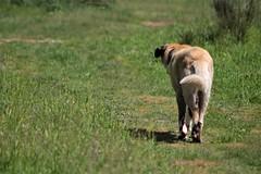 Tuco (MIDU PHOTO) Tags: naturaleza nature animal perro dog mastin mastiff