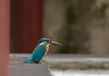 Kingfisher (Male) (Changer4Ever) Tags: nikon d750 bird animal life nature outdoor color bokeh dof depthoffield feather wildlife 7003000mm kigfisher commonkingfisher