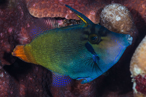Blackbar Filefish - Pervagor janthinosoma