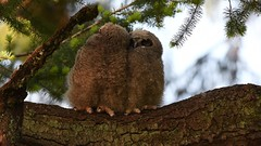 Early morning in the forest. (Melanie Leeson) Tags: owls video birdsofbritishcolumbia melanieleesonwildlifephotography greatgrayowl nikkor200500mm nikond500 dlsr birds nikon greathornedowls blingsister strixnebulosa birdsofnorthamerica birdsofcanada