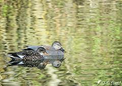 Un beau couple de Chipeaux (jean-daniel david) Tags: oiseau oiseaudeau canard canardchipeau réservenaturelle reflet lac lacdeneuchâtel yverdonlesbains nature couple duo