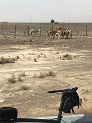 Camel mothers and calves grazing by the side of the road - Al Ain, UAE (Patrissimo2017) Tags: cycling