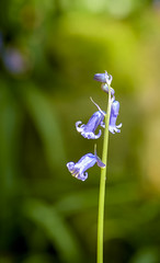 Bluebells (John__Hull) Tags: bluebells outwoods the charnwood leicestershire nikon d7200 stem