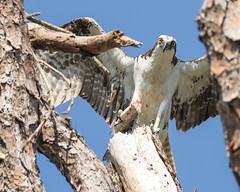 In the Presence of an Osprey (Mark Schocken) Tags: osprey pandionhaliaetus fishhawk bird raptor markschocken honeymoonislandstatepark