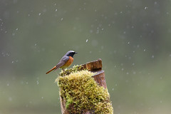 Redstart on the rain (NikonNigel) Tags: copyright©nigelcox copyrights