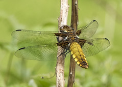 Broad-bodied Chaser (amber654) Tags: insect dragonfly chaser broadbodiedchaser libelluladepressa invertebrate broad wingedinsect wings springwatch spring wildlife panasonic lumix lumixtz60 tz60 outdoor