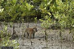41298 Long-tailed macaque (Macaca fascicularis) on mudflats at low tide in disturbed mangrove habitat, Kuala Selangor Nature Park, Selangor, Malaysia. IUCN=Least Concern. (K Fletcher & D Baylis) Tags: wildlife animal fauna mammal primate monkey cercopithecidae macaque longtailedmacaque crabeatingmacaque macacafascicularis leastconcern habitat environment wetland mangrove mudflat tidal brackish kualaselangornaturepark selangor malaysia asia april2018
