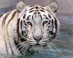 Dreamworld Tiger. (nathanmeade_) Tags: wildlife tiger tamron