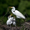 Great Egret with baby Egrets (Ed Sivon) Tags: america canon nature wildlife wild western white southwest egret flickr bird baby texas