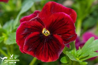 Spring Flower Pansy