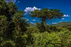 Árvore (Claudio Arriens) Tags: landscape paisagem árvore natureza brasil riograndedosul nature tree canoneos40d canonef1740mmf4lusm