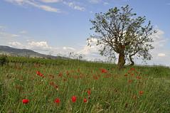 Flowery Field (C.Frayle) Tags: flowers floración árbol nature naturaleza nikon nubes natura campo paisaje cielo españa amapolas