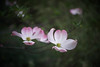 DSC08184 (Old Lenses New Camera) Tags: sony a7r wollensak raptar 38mm f19 plants garden tree flowers branches dogwood