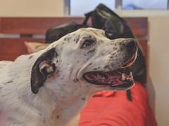 #Lucía #dog #NikonD3400 #NikonPhoto (rodrigo.hortat) Tags: lucía dog nikond3400 nikonphoto