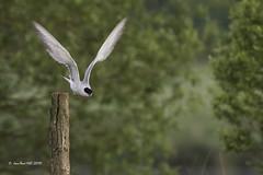 _JRH1992 (jeanrene31240) Tags: oiseaux sternes sternespierregarin sternahirundo occiatnie ariège mazères domainedesoiseaux