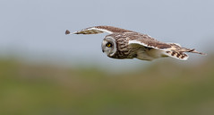 AX1I7976.jpg (robinlee667) Tags: unitedkingdom what strigiformes shortearedowlasioflammeus where wales europe skomerisland owl
