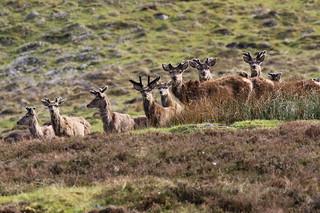 Red Deer Stags - Scottish Highlands
