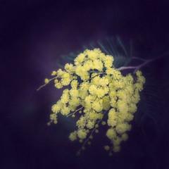 ramito amarillo (acativa) Tags: mimosas flores flowers invierno amarillo ramas hojas febrero rural campo texturas textures textura acativa galicia