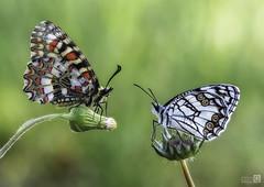 Dos Bellezas (Explore 24-5-2018) (JoseQ.) Tags: macro macrofotografia arlequin blanquita mariposas insectos bichos animal flores campo airelibre miradas verde colores pareja olympus bellezas