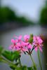 Fuji X-Pro1 + XF50mm (Erol Cagdas) Tags: fujifilm fuji xpro1 xf50mm 50mm wideopen f20 closeup flowers amsterdam canal keizersgracht netherlands holland