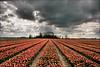 Dreiging boven de tulpen in Loppersum (TeunisHaveman) Tags: tulp tulip flowers bloemen loppersum provinciegroningen wolken luchten