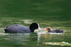 Coot feeding her chick (Susanne Leyh) Tags: coot bird chick babybird babyanimal waterfowl water lake pond spring springtime outside outdoors nikon parenting blässhühner blässhuhn