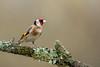 Goldie (Wizmatt) Tags: goldfinch british birds wildlife carduelis photography hide feeding station perch colourful march garden