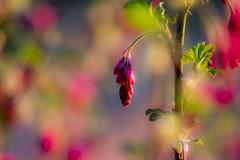 Raspberry Rain (jamesdewar99) Tags: colourbokehgardenspringsunlightspringflickr beautifulearth inexplore
