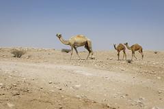 070A8716 (Cog2012) Tags: qatar