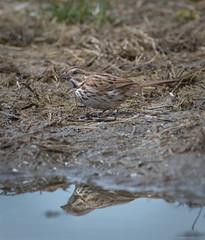 Song Sparrow (piano62) Tags: birds songsparrow birdmigration spring2018 urbanwildlife urbannature chicago chicagoriver nikond750 tamron150600mm