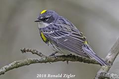Yellow-rumped Warbler  IMG_8536 (ronzigler) Tags: yellowrumped warbler myrtle wildlife nature birdwatcher songbird avian bird