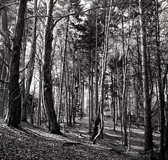 Mit der Pentacon Six im Wald (Norbert H.) Tags: pentaconsixtl pentaconsix mittelformat mediumformat schwarzweis selfdeveloped analog wood ilfotecddx