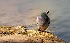 Bien alors tu la fait cette photo !!! (musette thierry) Tags: pigeon musette thierry d800 belgique nikon capture animalier animal animaux 28300mm avriel printemps