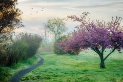 Cherry Blossoms (JMS2) Tags: nature park path blossom spring cherryblossom dawn scenic landscape