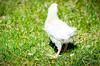 Baby Chickens-38 (sammycj2a) Tags: chick chickens backyardfarm farm chicks pullets straightrun backyard nikon nikkor lightroom