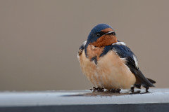 Barn Swallow (JDA-Wildlife) Tags: birds nikon nikond7100 tamronsp150600mmf563divc jdawildlife johnny portrait closeup eyecontact swallows swallowbarn barnswallow composition wow