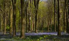 Carpet of bluebells in West Woods (Edmund Shaw) Tags: woodland westwoods wiltshire bluebells flora flowers wildflowers fleur jacinthedesbois flores beeches carpet