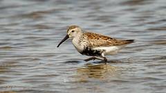 Dunlin (Bob Gunderson) Tags: birds calidrisalpina california coyotepointcountypark dunlin northerncalifornia peninsula sanmateocounty sandpipers shorebirds