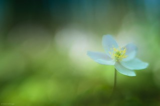 Last anemone in the forest