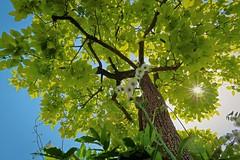 Persimmon Tree (namhdyk) Tags: persimmon tree trees green lights sunstar canon canonpowershot canonpowershotg7x