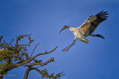 Woodstork Arriving (dngovoni) Tags: action background bird flight florida staugustine wildlife woodstork