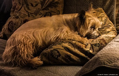 2018.02.04.3096 Hard Day (Brunswick Forge) Tags: 2018 spring blossom blossie bigbits dog dogs doggie doggies cairn terrier tinyjawsofdeath puppy puppies virginia sleeping animal animalportraits iphone grouped favorited commented