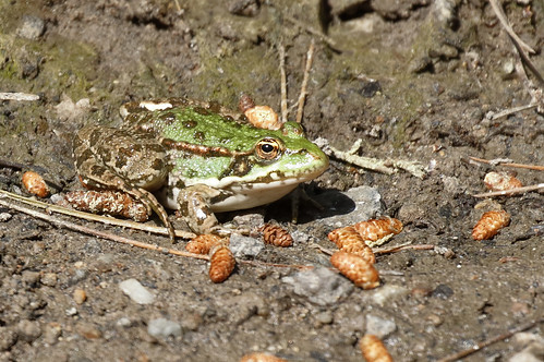 Levant Water Frog_18-04-21_