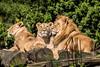 Familie Sonnenschein (Anja Anlauf) Tags: löwe raubtier groskatze familie natur säugetier