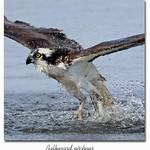Balbuzard pêcheur / Osprey 153A0103