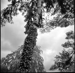 looking up, treetops, ivy-covered tree trunk, Asheville, North Carolina, Diana F+, Kodak TMAX 400, Ilford Ilfosol 3 developer, early May 2018 (steve aimone) Tags: lookingup treetops treetrunk ivycovered asheville northcarolina dianaf kodaktmax400 ilfordilfosol3developer lomography 120 film 120film mediumformat blackandwhite monochrome monochromatic landscape