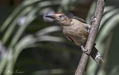 IMG_0678 Gila Woodpecker - LN - Carpintero Desértico - Tecuitata, Nayarit, Mexico - Mar 2018 (Saad Towheed Photography) Tags: gila woodpecker carpintero desértico tecuitata nayarit mexico bird beak feather wing