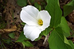 GREAT WHITE TRILLIUM IN PENNSYLVANIA (fstopfinatic) Tags: scene graceful mood forest tree decay moss nature outdoor landscape serene fujifilms9200camera flower petal seeds sun hillmanstatepark burgettstownpennsylvania